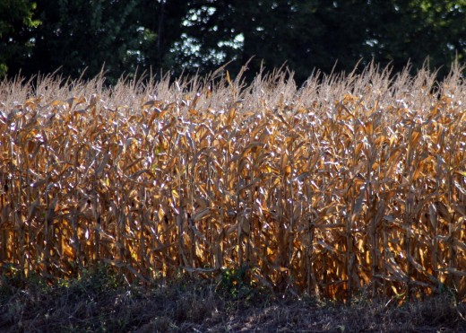 Corn grown for fuel/feed..almost ready to be harvested