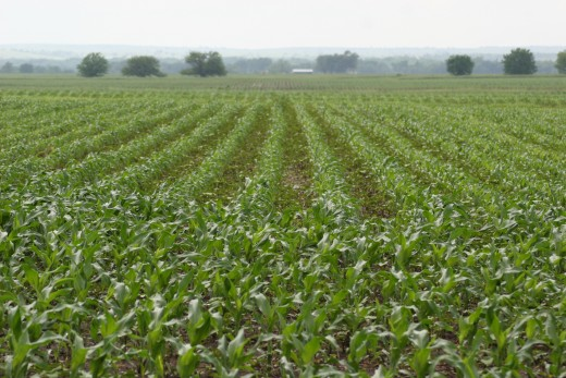 New corn..Katy was in this field but later in the growing  season  when the corn had grown inpossibly thick/dense and harsh.