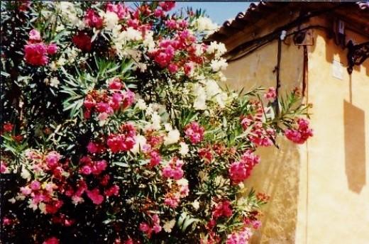Oleanders in full bloom