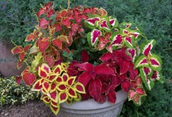 How to Grow Coleus as a House Plant