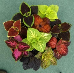 Top view of an indoor coleus house plant.
