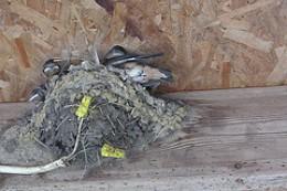Barn Swallow Nest
