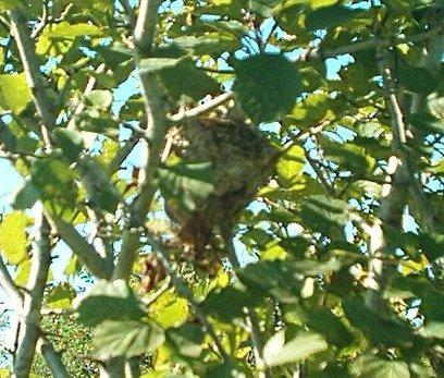 American Goldfinch nest near Montreal, Canada.