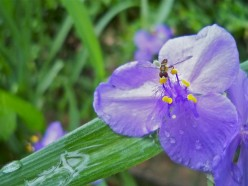 Colorful, delicate, spiderwort after rain.