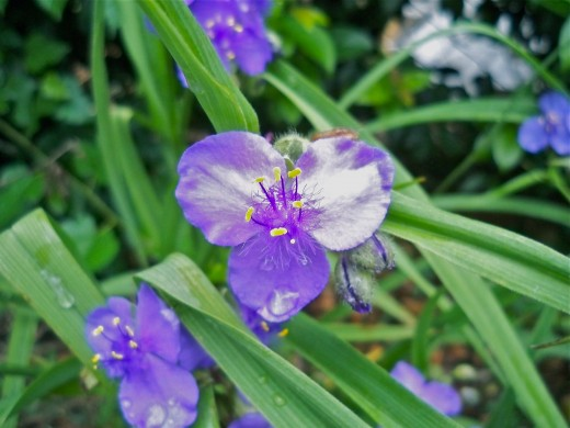 Spiderwort's delicate features leave us with the impression of having been in the presence of royalty.
