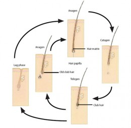 Hair life cycle