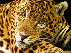 Jaguars: The Largest of South America's Big Cats