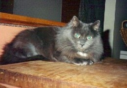 Beautiful Gray.....green eyed and gorgeous.  RIP my sweet girl