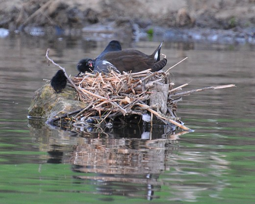 Adult moorhen with chicks in the nest