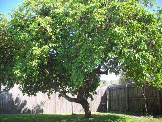Our Grapefruit Tree Out Back