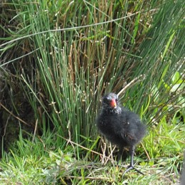 8 day old moorhen chick