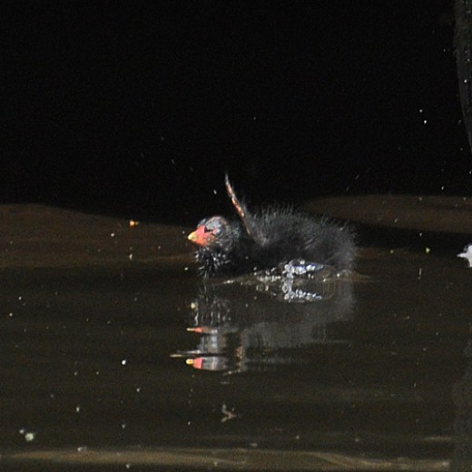Moorhen chick ' out of the black'