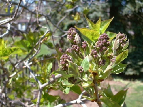 Lilac tree - early bud formation - photo by timorous