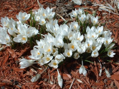 White Crocus - photo by timorous