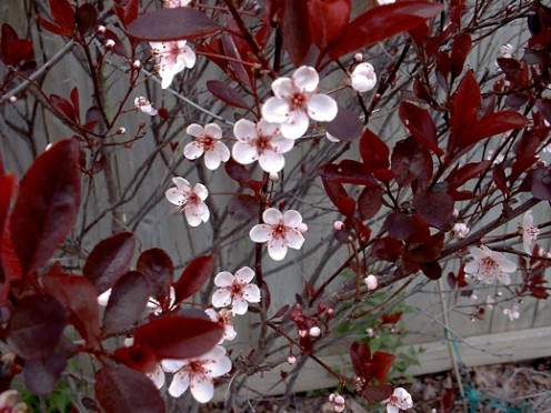 Purple Sandcherry - photo by timorous