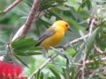Pictures of Birds - Prothonotary Warbler Nesting