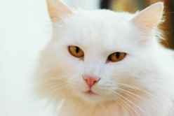 The Turkish Van Cat Breed Facts and Information