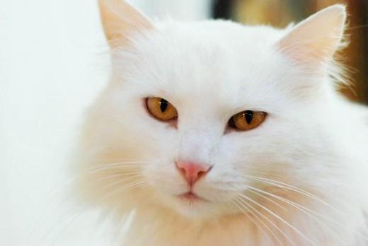 The Turkish Van Cat
