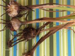Crocosmia bulbs shared by neighbors