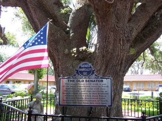 The Old Senator - This Live Oak tree is supposed to be 600 years old - Magnificent