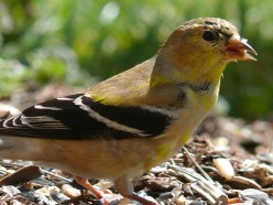 In the spring, American Goldfinches lose the flat, drab colors of their winter plumage, and  begin to grow the brilliant yellow feathers they will wear into breeding season through the  summer.
