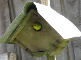 Coming out of the nest box to go get some more nesting materials.