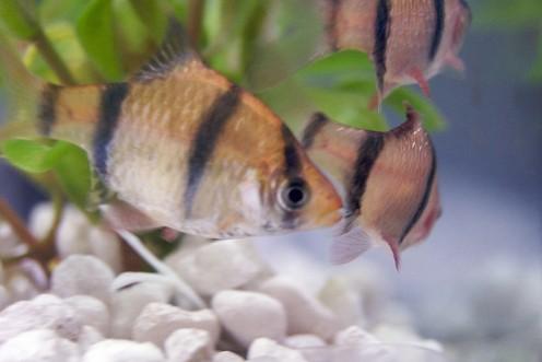 Tiger Barb