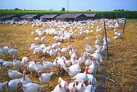 More turkeys outside on a farm.  Be honest, who could resist jumping in there and chasing those turkeys!!!!
