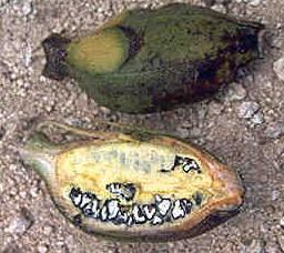 The undomesticated wild banana