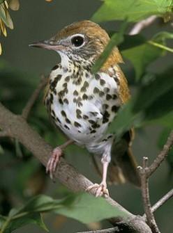 The Wood-Thrush: A Bird Heard, But Seldom Seen.
