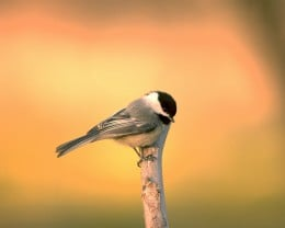 Black-capped chickadee perched on a branch.