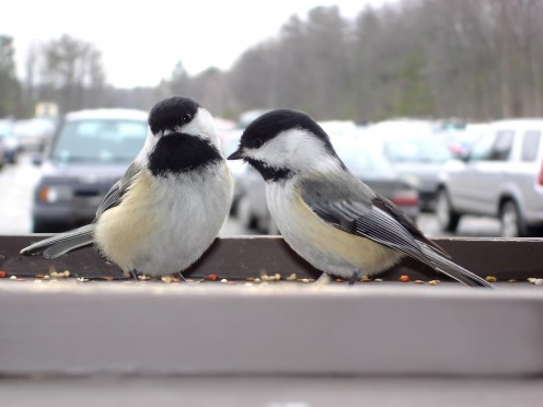 Chickadees appear at bird feeders everywhere, even conjested urban and suburban areas.