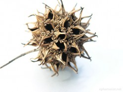 Sweet gum ball - Looks pretty good for ammunition, but they weren't.