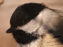 Close-up head shot of Black-capped Chickadee.