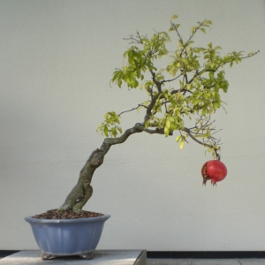 Bonsai Pomegranate
