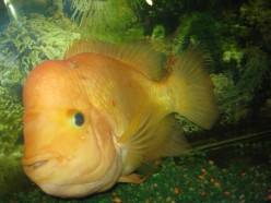 Red Devil Cichlid Story