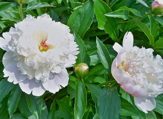 Fragrant peonies are photogenic, always making for an amazing photography experience!