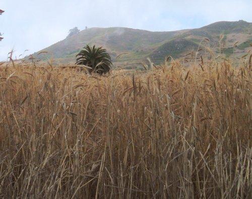 Field of Corn in Tenerife