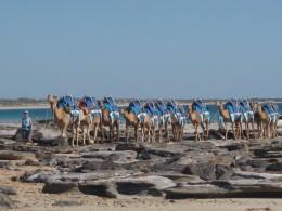 Allisons camels