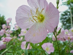 Pink and Yellow Evening Primrose: Number 6 in a Garden Photo Series