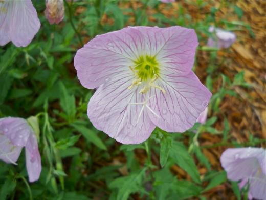 Pink Primrose Perking Up After Rain