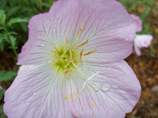 Beautiful And Delicate Pink Primrose