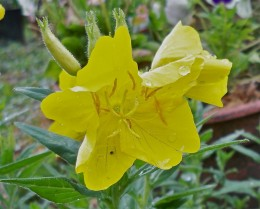 Yellow Primrose Blossoms Come Out In Hardy Groups