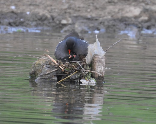 Moorhen adult brooding chicks on the nest