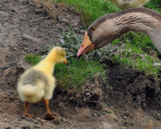 'Yes you can eat this son' Chinese goose showing gosling what to eat
