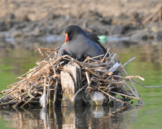 Definitely an awww factor - mother moorhen and chick