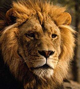 A Lion - Symbol of strength