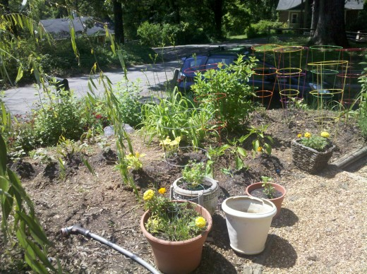 My front yard victory garden in all its glory!