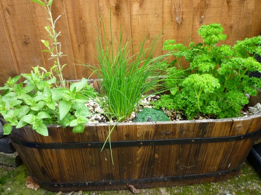 Herb gardening on large pots