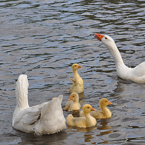 ...to this... goslings protected by both adults
